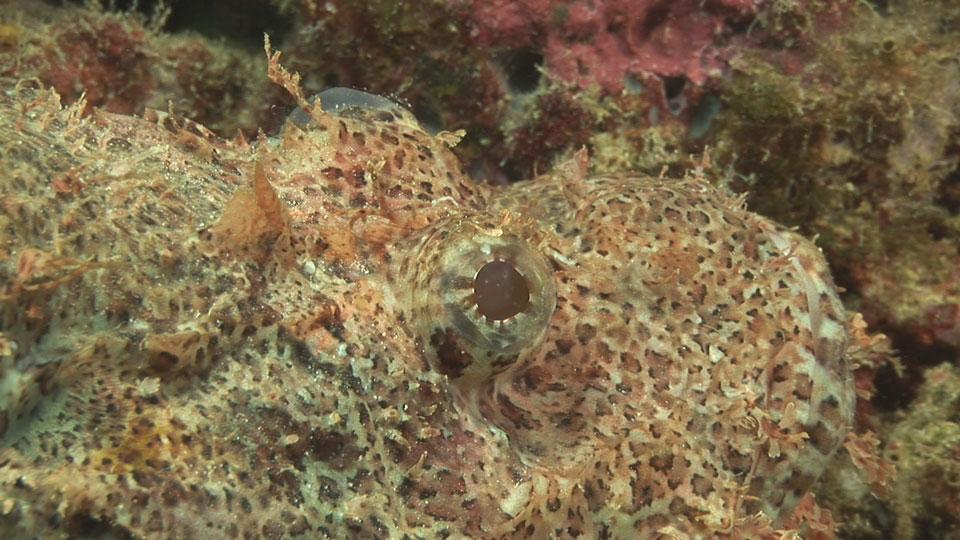 scorpionfish_medium_small.jpg