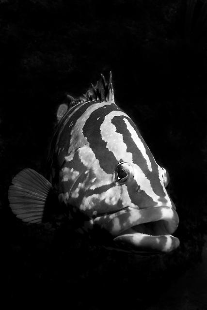 teyles_grouper.jpg