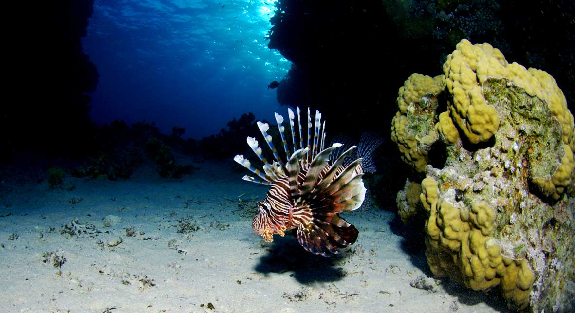 Red_Sea_lionfish.jpg