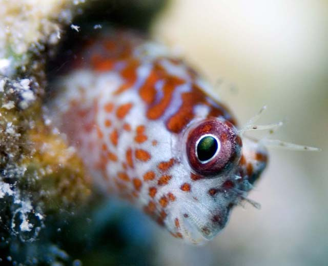 Fringed_blenny_02_copy.jpg