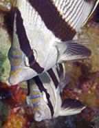 20060512_2ButterFlyFish_LC.jpg