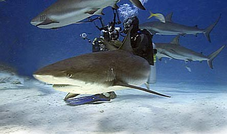 bahamas_2005_shark_005edit.jpg