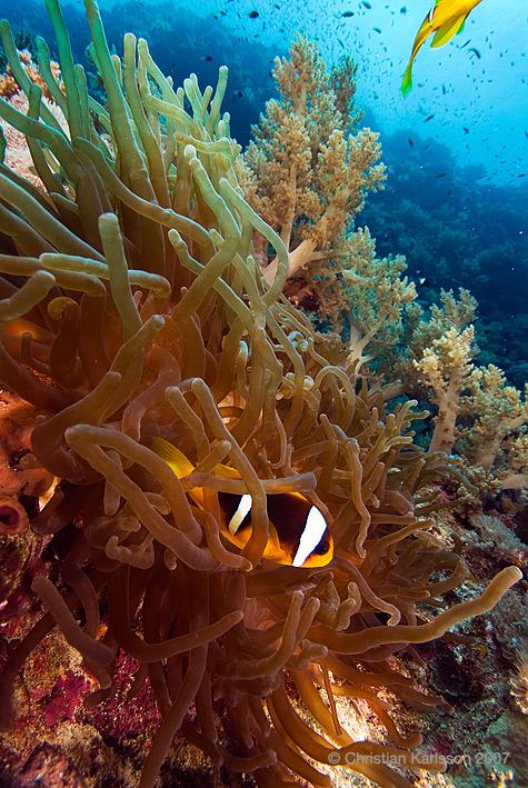 anemone200kb.jpg