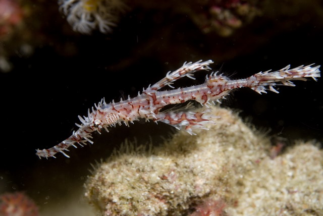 Ornate_ghost_pipefish.jpg