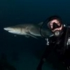 Grey Nurse sharks - last post by Aussiebyron