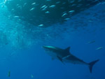 Danger on the rise for Guadalupe shark divers Photo