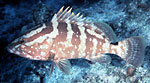 Twenty groupers threatened with extinction Photo