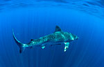 Three protected tiger sharks killed in Aliwal Shoal, South Africa Photo