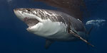 Mexico passes shark finning ban Photo