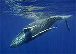 Iceland breaks 21-year-old commercial whaling ban Photo