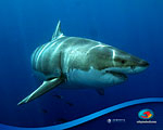 Film Review: Island of the Great White Sharks Photo