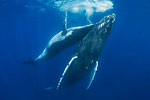 Tony Wu blogs from Tonga: Week One with Humpbacks Photo