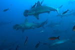 Report details possible killer whale predation of hammerhead sharks Photo