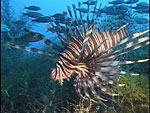 Exotic Lionfish spreading through US coast Photo