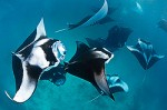 Mantas of Hanifaru: Protection from tourists? Photo