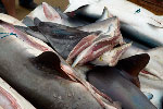 Petition: stop distribution of shark fins Photo