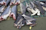 Queensland, Australia considers creating a dedicated shark fishery Photo