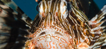 Lionfish found at depth off Florida Photo
