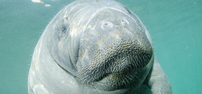 Manatee influx closes Three Sisters Spring Photo