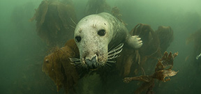 Seals use acoustic tags to hunt more efficiently Photo