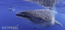 Late Availability: Wetpixel Whale Sharks July/August 2017 Photo