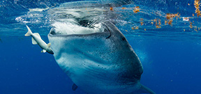 Late Availability: Wetpixel Whale Sharks Photo
