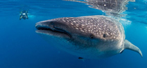 Live reports: Wetpixel Whale Sharks 2015 Photo