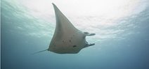 Indonesia announces manta sanctuary Photo