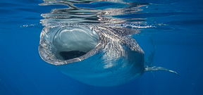One space available for Wetpixel Whale Sharks 2017 Photo