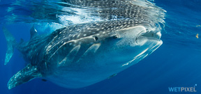 Indonesia foils whale shark export attempt Photo