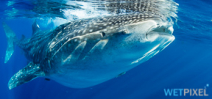Paper catalogs whale shark movements off Madagascar Photo