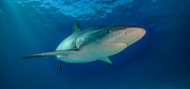 Canada bans shark fin trade Photo