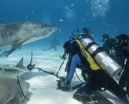 Late availability: Bahamas tigers, hammerheads and dolphins Photo