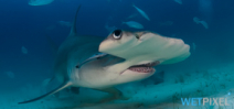 Paper quantifies benefits of shark diving to Bahamas economy Photo