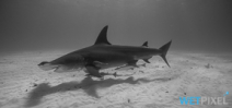 Paper investigates hammerhead shark mating Photo