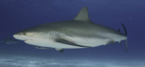 Florida holds public meetings about short based shark angling Photo