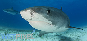 Study shows tiger shark litters have single male parent Photo