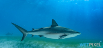 Paper Examines Impact of Divers on Reef Sharks Photo