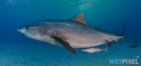 Fatality from Tiger Shark in Cocos Island Photo