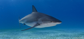 Shark Sanctuaries announced in Caribbean Photo