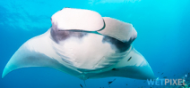 Paper documents manta mating behavior Photo