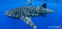 Paper explains location of whale shark aggregations Photo