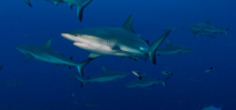 Florida Bans Sales of Shark Fins Photo