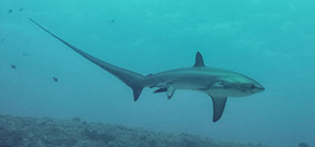 Image captures thresher shark birth Photo