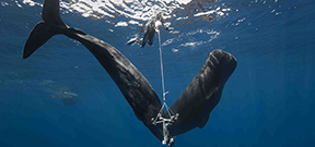 Expedition seeks to decode sperm whale vocalizations Photo