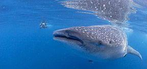 How to love a whale shark Photo