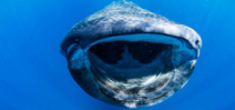 New research into Yucatan whale shark movements Photo