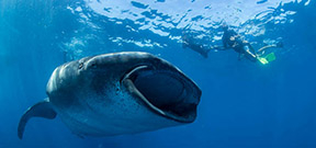 Wetpixel Whale Sharks 2014 Photo