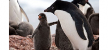 "Adelie penguins in the Antarctic suffer ""catastrophic"" breeding season Photo"