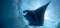 CITES shark and manta protection comes into force Photo